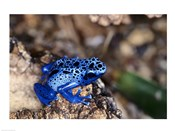 High angle view of a Blue Poison Arrow Frog on a rock