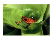 Close-up of a Strawberry Poison Dart Frog on a leaf