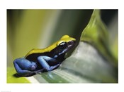 Close-up of Blue-Legged Mantella Frog
