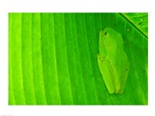 Green frog  hiding on a banana leaf, Costa Rica