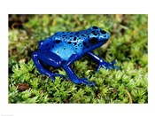 Close-up of a Blue Poison Dart Frog in the grass