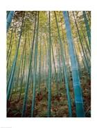 A Bamboo Forest, Sagano, Japan
