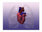 Close-up of a human heart model