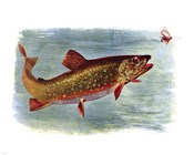 Brook Trout American Fishes