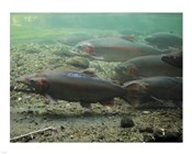 Rainbow trout - photo