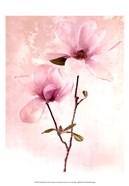 Tulip Blush II