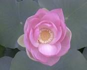 Blushing Lotus I
