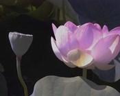 Blushing Lotus III