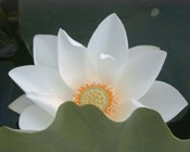 Delicate Lotus III