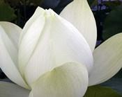Delicate Lotus IV