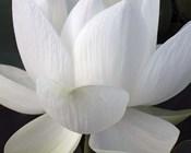Delicate Lotus V