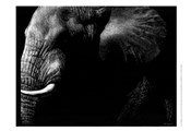 Wildlife Scratchboards III