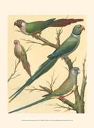 Cassell&#39;s Parakeets III