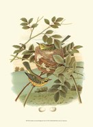 Golden Crowned Kinglet &amp; Nest