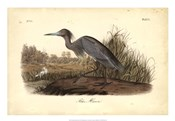 Audubon&#39;s Blue Heron