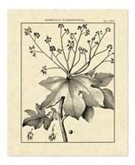 Vintage Botanical Study I