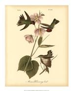 Anna Hummingbird