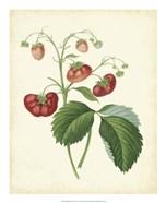 Plantation Strawberries II