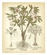 Tinted Besler Botanical I