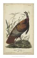 Audubon Wild Turkey