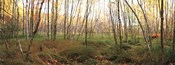 Birch Forest Panorama