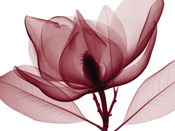 Red Magnolia I (oversize)