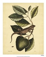 Iguana, Pl. T64