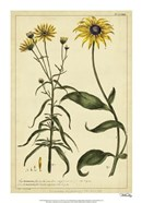 Rudbeckia and Coreopsis, Pl. CCXXIV