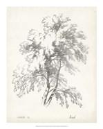 Birch Tree Study