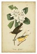 Audubon Canada Flycatcher