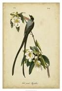 Audubon Fork-tailed Flycatcher