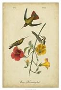 Audubon Mango Hummingbird