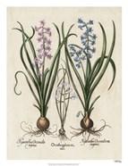Besler Hyacinth I
