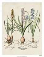 Besler Hyacinth II