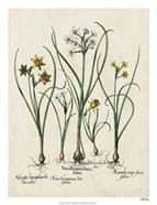 Besler Narcissus II