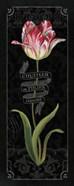 Tulipa Botanica III