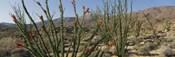 Ocotillo Anza Borrego Desert State Park CA