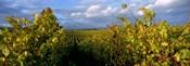 Low angle view of vineyard and windmill, Napa Valley, California, USA