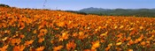 Namaqua Parachute-Daisies flowers in a field, South Africa