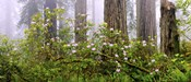 Rhododendron flowers in a forest, Del Norte Coast State Park, Redwood National Park, Humboldt County, California, USA