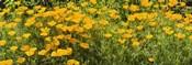 California poppies (Eschscholzia californica) in bloom