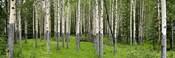 Aspen Trees Banff, Alberta, Canada