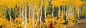 Aspen Trees in Autumn, Dixie National Forest, Utah