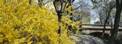 Forsythia in bloom, Central Park, Manhattan, New York City, New York State, USA