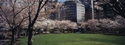 White flowering trees in a park, Central Park, Manhattan, New York City, New York State, USA