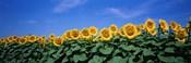 Field Of Sunflowers, Bogue, Kansas, USA