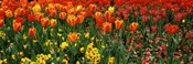 Tulips in a field, St. James's Park, City Of Westminster, London, England