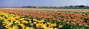 Field Of Flowers, Egmond, Netherlands