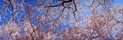 Low angle view of cherry blossom trees, Washington State, USA