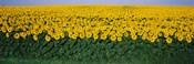 Sunflower Field, Maryland, USA